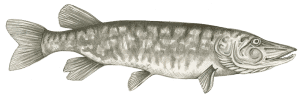 fish-transparent-lg