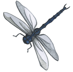 dragonfly-transparent