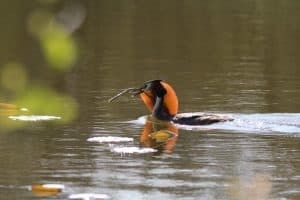 Great Crested Grebe in The Broads, taken by P Ray, a Natural England Volunteer.