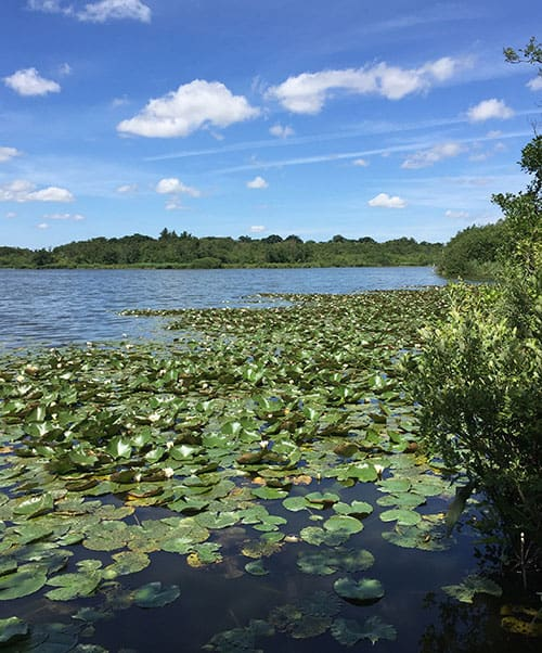 Water Lillies on Hoveton Great Broad